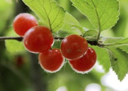 毛樱桃的功效与作用是什么?和樱桃有什么区别?毛樱桃怎么吃好?